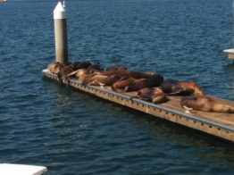 Marina Del Rey Sea Lions