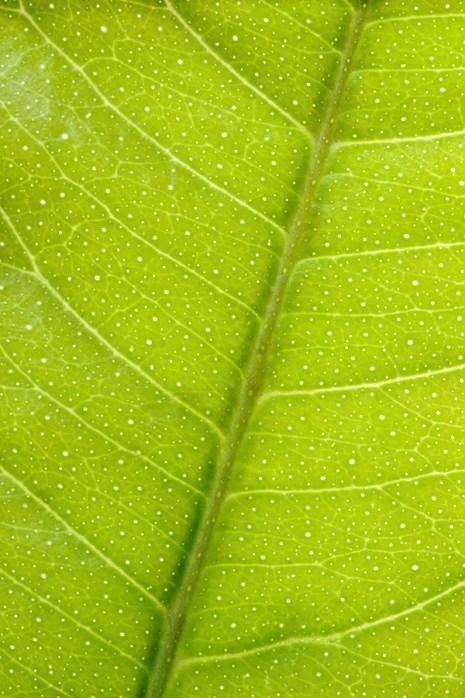 Leaf 1X