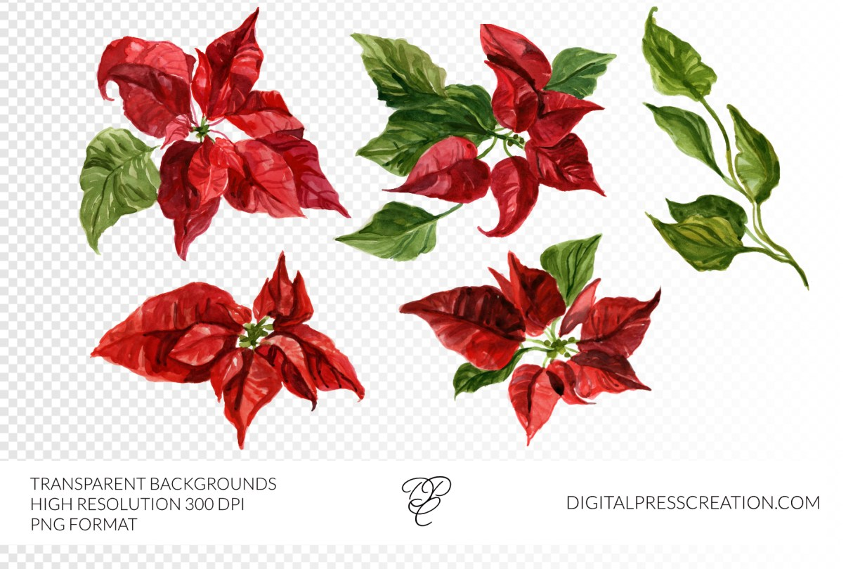 Watercolor Poinsettias CLipart set, red flowers winter holiday festive clipart 300dpi