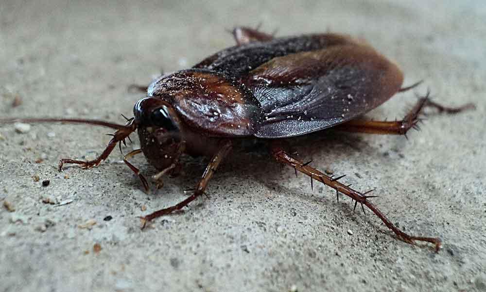 cafard-noir-de-jardin-cockroach