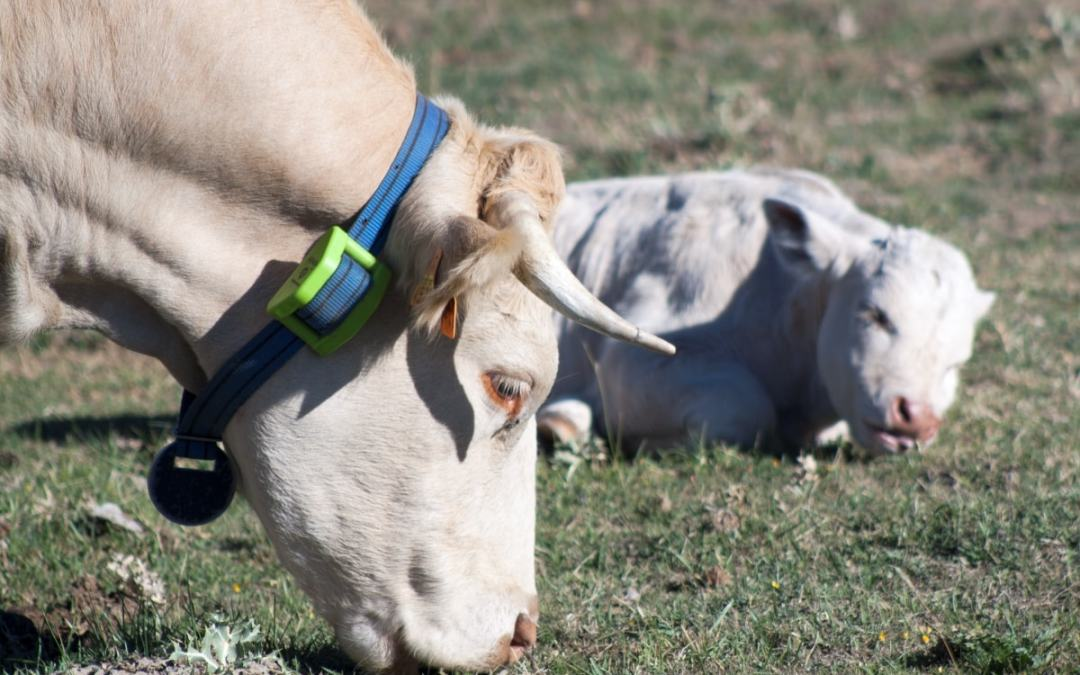 Localizador GPS para ganado – Localizador GPS para animales