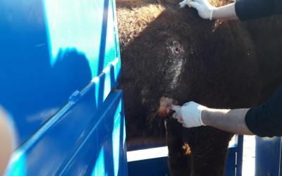 Nuestros GPS ayudan a salvar la vida de una vaca en Bosnia y Herzegovina