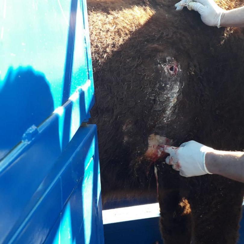 La intervención quirúrgica que se le realizó a la vaca para acabar con el problema