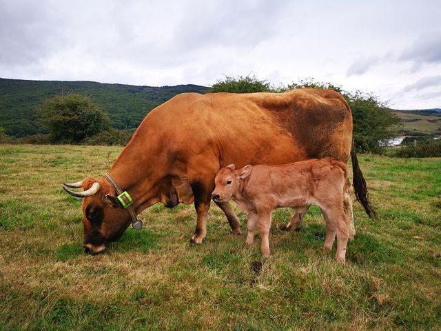 Ayudando a un ganadero en el parto de una vaca que tenía torsión de matriz
