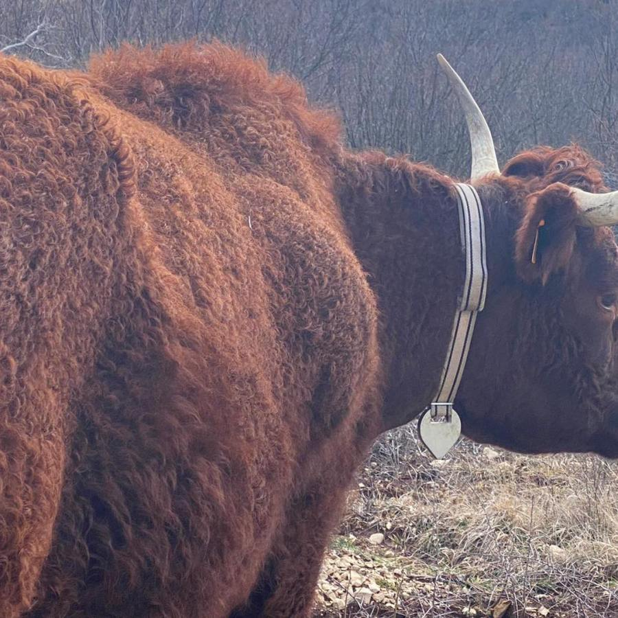 Vache qui présentait un comportement inhabituel