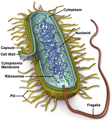 Bacterial cell structure for the dilemma of good and bad bacteria