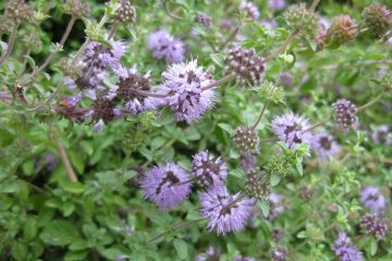 Photograph of purple pennyroyal flowers.