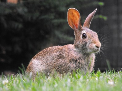 A brown rabbit in green grass