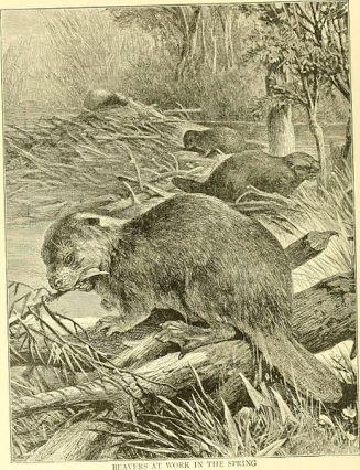 an engraving of a beaver