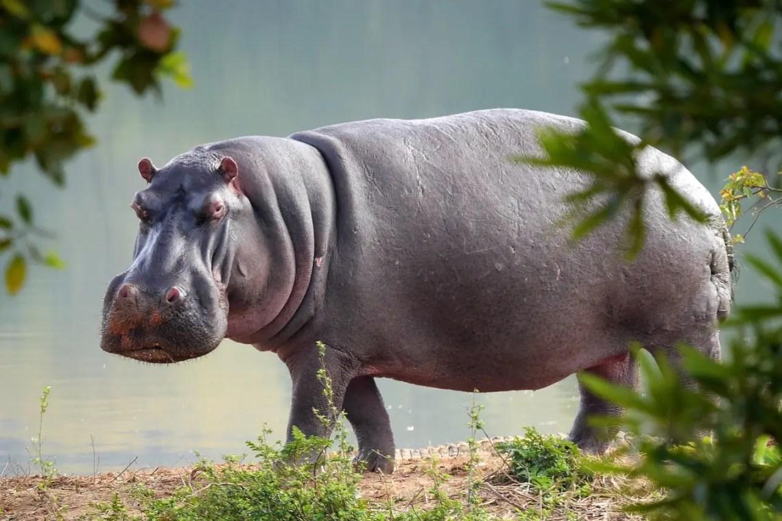 5 Fakta Unik Dari Kuda Nil, Si Hewan Asli Afrika