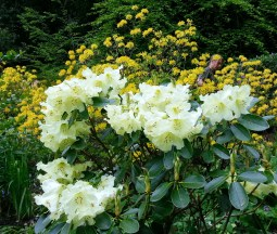 pale lemon yellow rhododendrons, with a gardener hiding in the golden azaleas behind