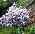 pale lavender