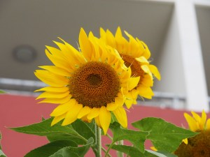 Sunflowers are growing in the garden of an apartment below mine.