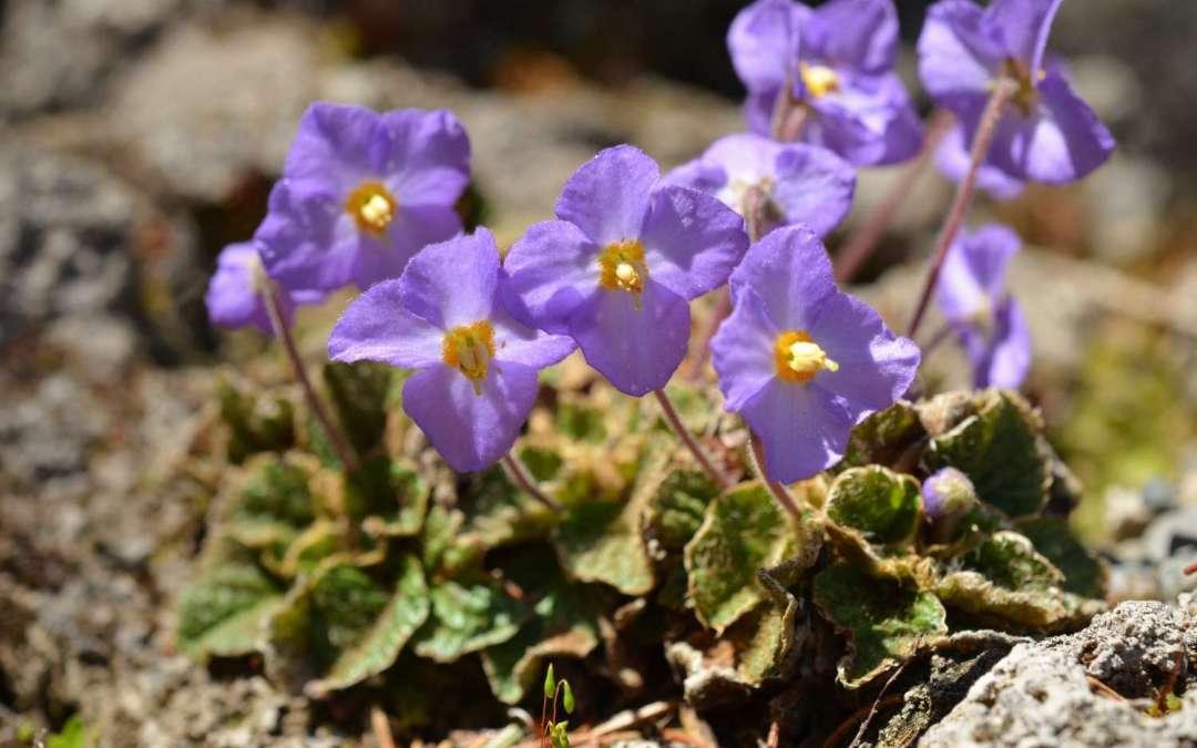 Ramonda, čudesan cvet  na mističnom Rtnju