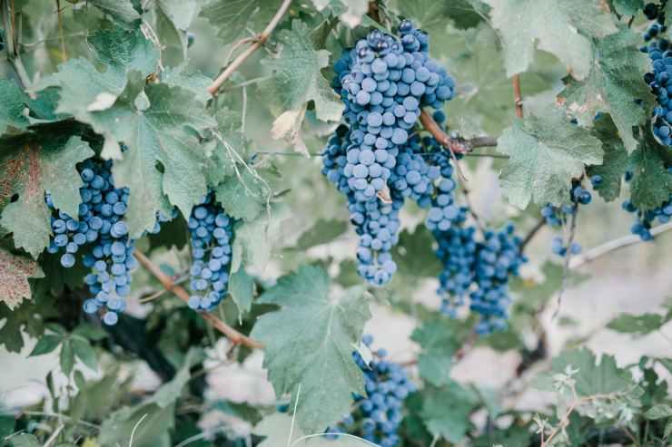 blue grape berries in vineyard in countryside