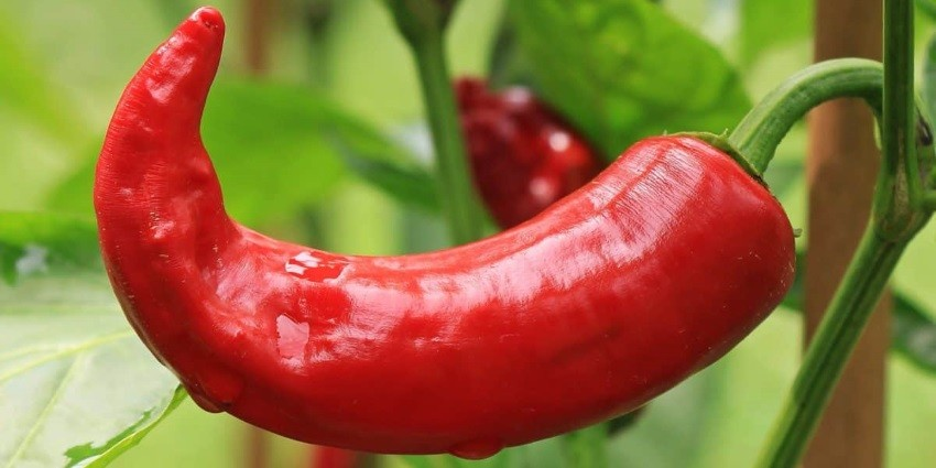 What is paprika?