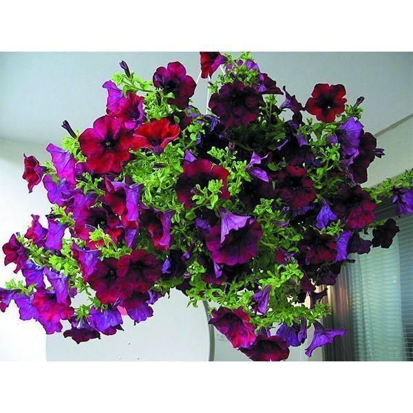 Купить Петуния крупноцветковая серия Лимбо F1, пурпурная ...