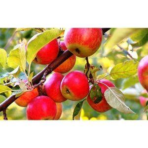 Купить саженцы яблони Гала Маст XL Цена, фото, описание ...