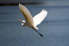 Lake Wivenhoe -Great Egret