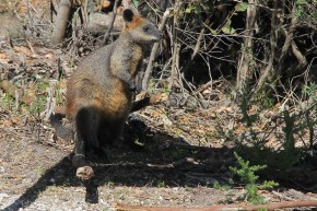 Wilsons Prom - Swamp Wallaby (Vic)