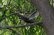 Grey Fantail (Neil Turner Weir, Mitchell)