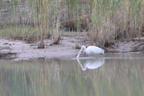 Yellow-billed Spoonbill (Neil Turner Weir, Mitchell)