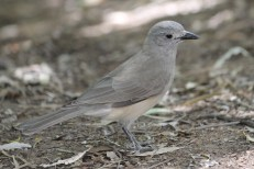 Grey Shrike-thrush (Qld)