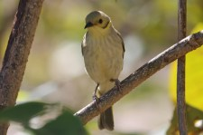 Yellow-tinted Honeyeater (Qld)