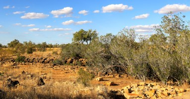 Camooweal National Park - Stand of Ficus (Qld)