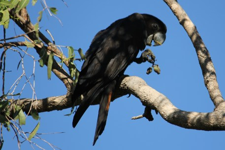 Red-tailed Black-Cockatoo -- Berry Springs, Darwin (NT)