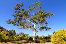 Ghost Gum - Oldest in Australia (300 years old) and 33m tall (NT)