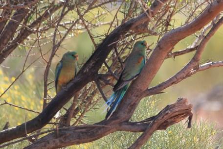 Mulga Parrots - Finke Road (NT)