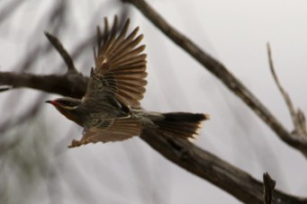 Spiny-cheeked Honeyeater - Bowra Wildlife Reserve (Qld)