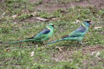 Mallee Ringnecks - Pair - Billabourie (NSW)