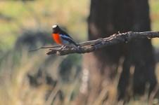 Scarlet Robin - Male - Byaduk Caves (Vic)