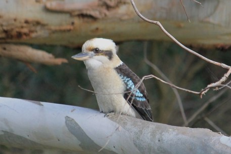 Laughing Kookaburra - Mt Gambier - Valley Lake Conservation Park (Vic)
