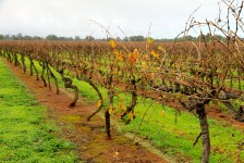 Penola Coonawarra Wine Region (SA)