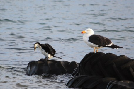 Pacific Gull and Pied Cormorant - Cowell Harbour View Boat Ramp (SA)