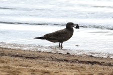 Pacific Gull - Imm -- Port Lincoln Foreshore (SA)