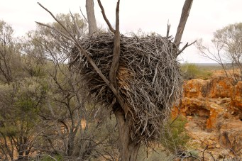 Boogardie Station - The Breakaways - Wedge-tailed Eagle Nest (WA)