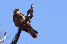 Gascoyne River South Branch - Whistling Kite (WA)