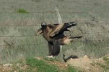 Wedge-tailed Eagle - Coorabie (SA)