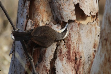 Grey-crowned Babbler - Fitzroy Crossing (WA)