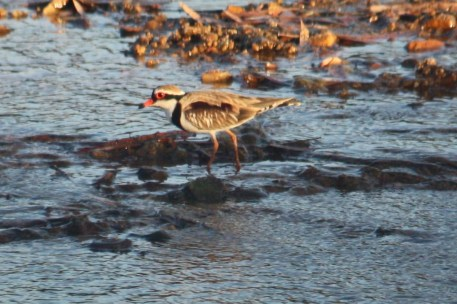 Black-fronted Plover - Fitzroy Crossing (WA)