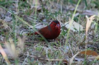 Crimson Finch - Fitzroy Crossing (WA)