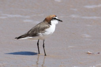 Red-capped Plover - Male - Barn Hill Station (WA)