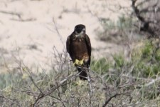 Australian Hobby - Mangrove Sanctuary Zone, Cape Range National Park (WA)