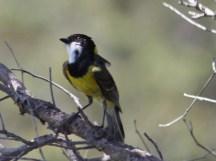 Golden Whistler - Meelup Regional Park (WA)