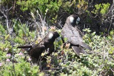 White-tailed Black-Cockatoos - Peaceful Bay (WA)