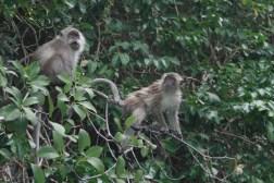Monkeys at Monkey Island